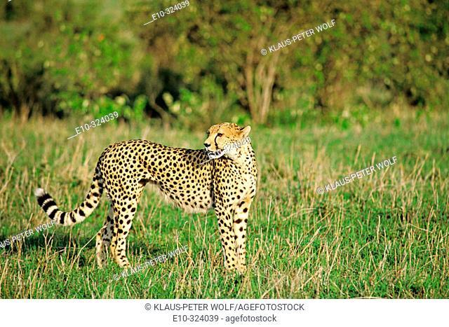 Cheetah (Acinonyx jubatus). Masai Mara. Kenya