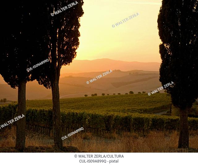 Cypress trees and grapevines at sunset, Tuscany, Italy
