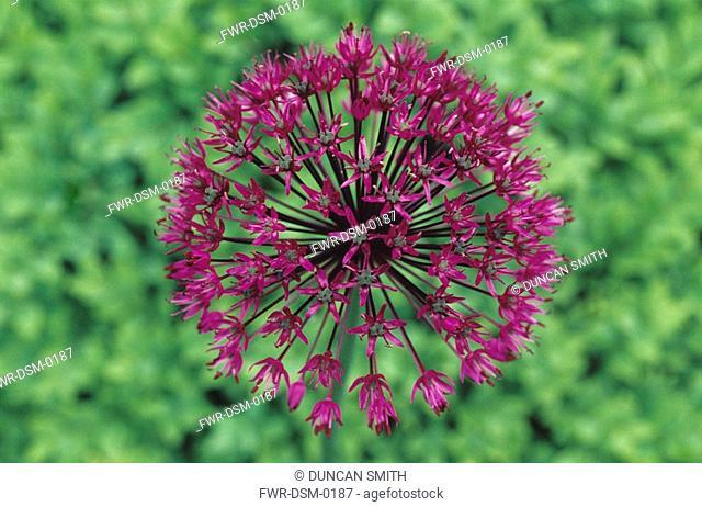 Allium - variety not identified, Allium