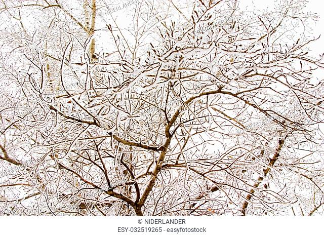 Thin birch branches with snow. White winter skies are visible thru them