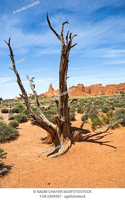 Dried tree in stone desert, Dried tree in stone desert, Arches National Park, Utah, USA