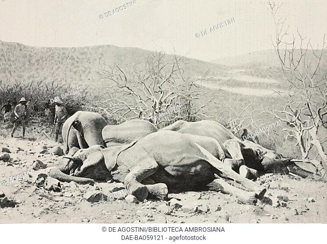 Six elephants killed by a single hunter in less than four minutes, big game in Africa, photo from L'Illustration, No 3083, March 29, 1902