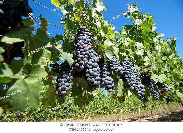 SOUTH AFRICA- Detail of grapes growing in vineyard
