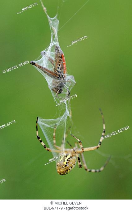Female Wasp Spider is wrapping a just caught grasshopper