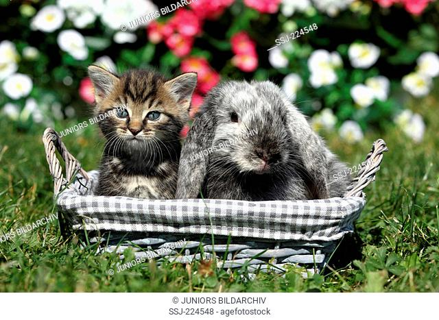 Domestic cat and Dwarf Rabbit. Kitten (6 weeks old) and Mini Lop sitting in a basket in a garden. Germany