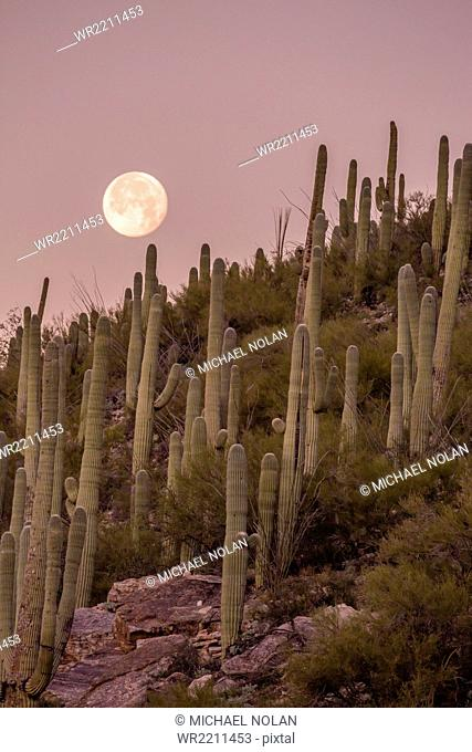 Giant saguaro cactus (Carnegiea gigantea), under full moon in the Catalina Mountains, Tucson, Arizona, United States of America, North America