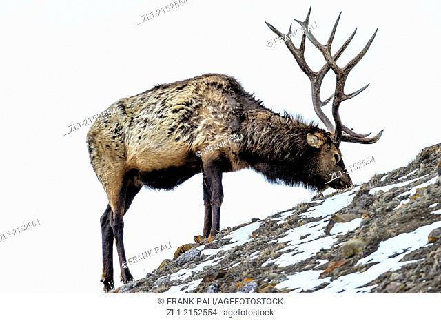 Elk Cervus elaphus on a snowy slope on the Columbia Blacktail Plateau, Yellowstone National Park, Mammoth Hot Springs, Wyoming, USA
