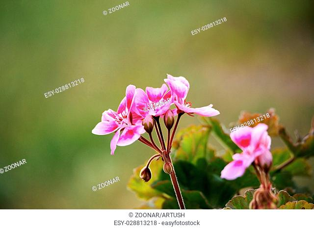 Pink bicolor geraniums in garden