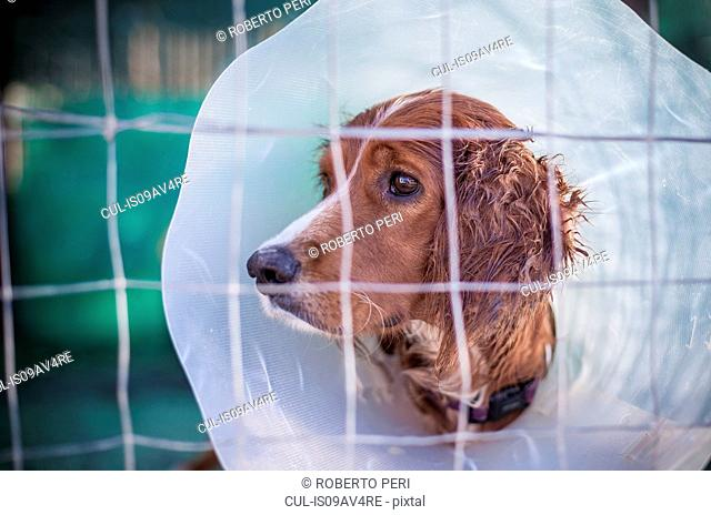 Portrait of dog behind wire fence wearing protective hood collar