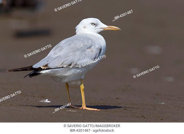 Slender-billed Gull (Chroicocephalus genei), standing on sand, Qurayyat, Muscat Governorate, Oman