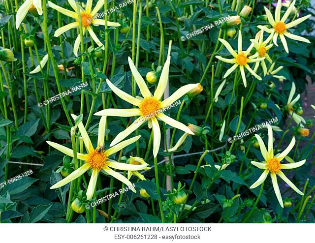 Yellow starlike Dahlias with eight petals, in a flowerbed, September