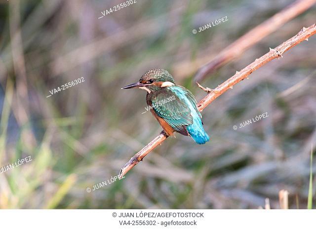 Kingfisher Alcedo atthis, juvenile. Flix, Tarragona province, Catalonia, Spain