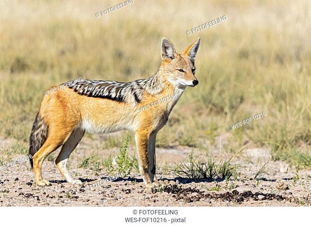 Botswana, Kgalagadi Transfrontier National Park, Mabuasehube Game Reserve, black-backed jackal, Canis mesomelas