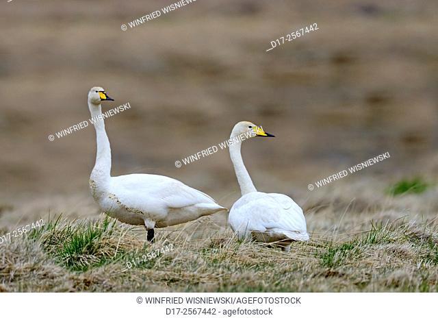 Couple of whooper swan (Cygnus cygnus) in the Icelandic tundra. Iceland