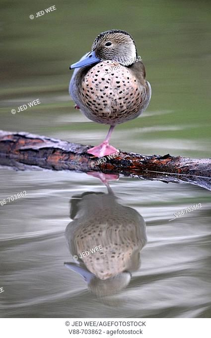 Ringed Teal (Callonetta leucophrys) perched on log, with reflection in the water. Washington Wildfowl and Wetlands Trust, Tyne and Wear, England