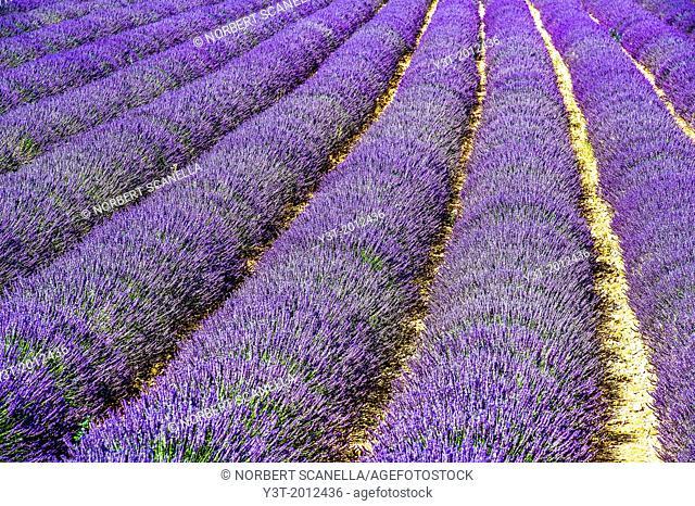 Europe, France, Alpes-de-Haute-Provence, 04, Regional Natural Park of Verdon, Valensole. Field of lavender