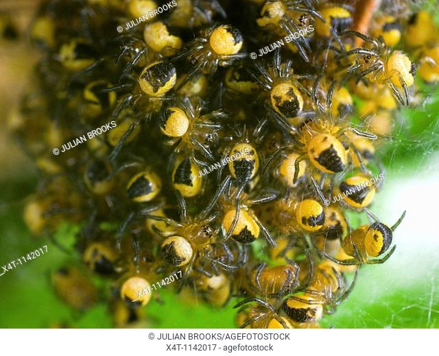 A mass of newly hatched baby spiders, species Meta Segmentata