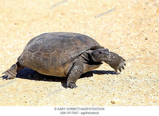 A gopher tortoise Gopherus Polyphemus in Florida USA