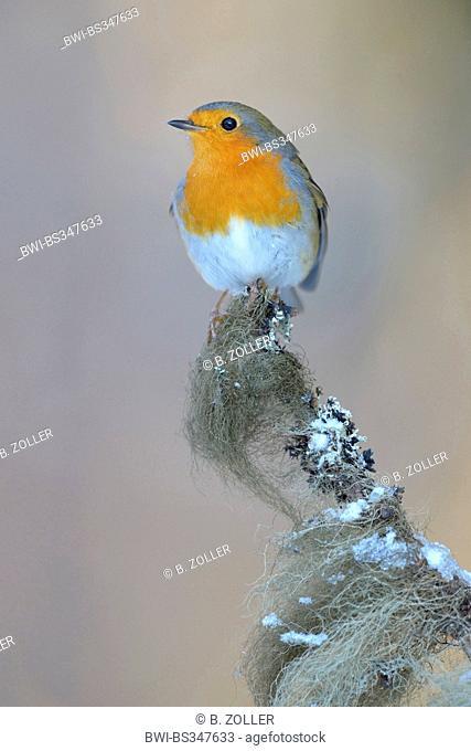 European robin (Erithacus rubecula), on spruce twig with beard lichen in winter, Germany, Baden-Wuerttemberg