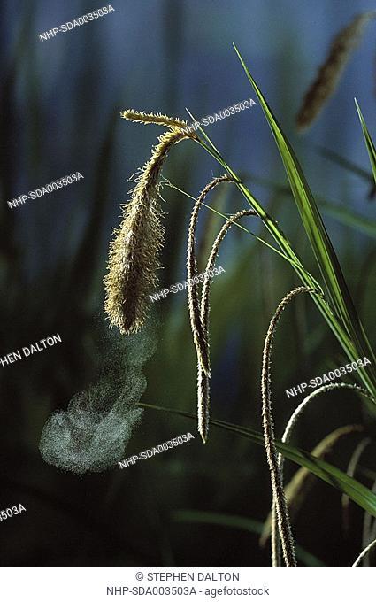 PENDULOUS SEDGE Carex pendula shedding pollen