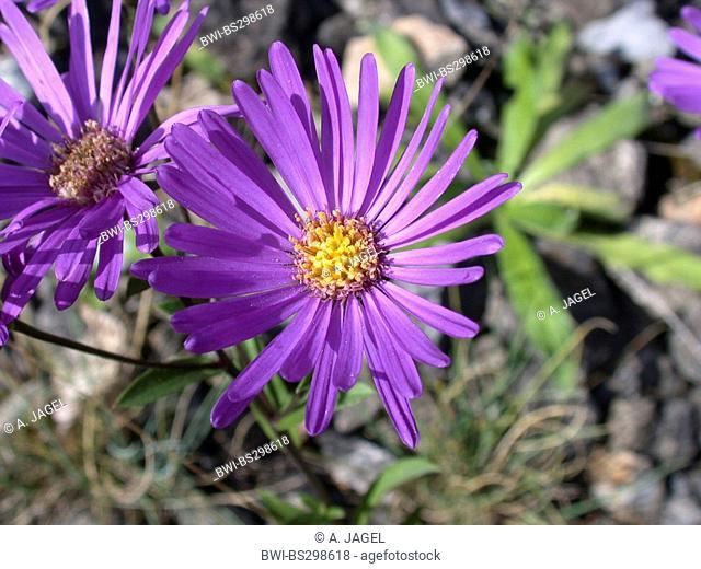Italian aster, Italian Starwort (Aster amellus), blooming, Germany