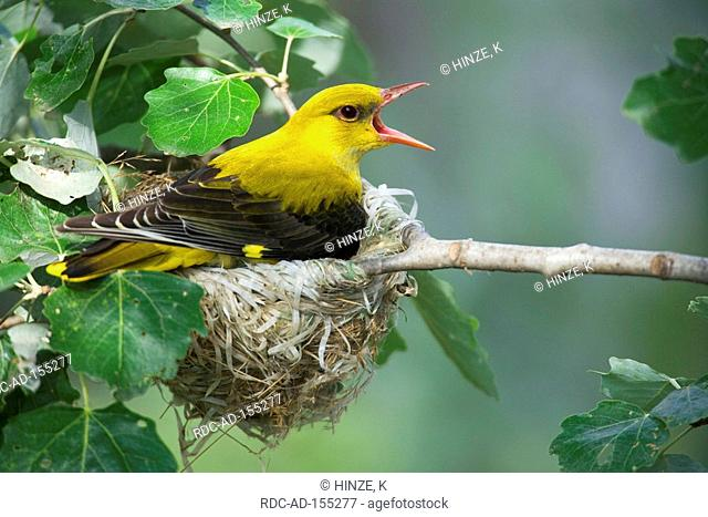 Golden Oriole female on nest Bulgaria Oriolus oriolus
