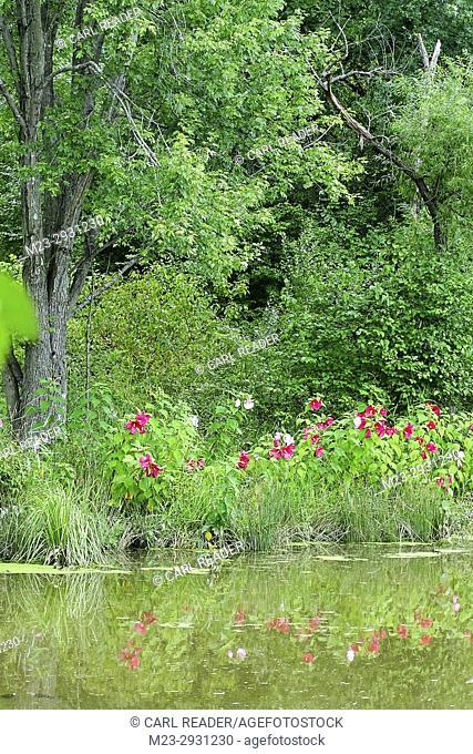 Flowers along a lake's shoreline, Pennsylvania, USA