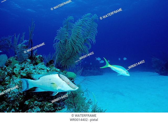 Hogfish, Lachnolaimus maximus, Caribbean Sea, Bahamas