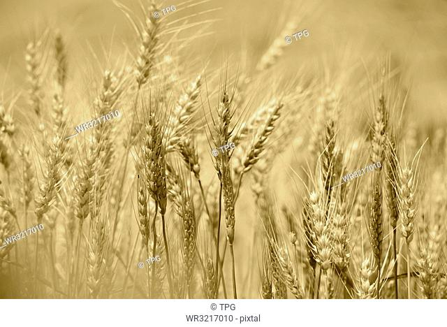 Wheat Field;Seoul