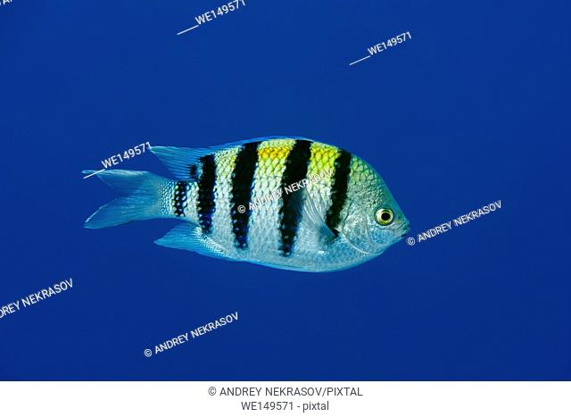 Indo-Pacific sergeant, Sergeant major or Common sergeant (Abudefduf vaigiensis) floats in blue water, Red sea, Sharm El Sheikh, Sinai Peninsula, Egypt