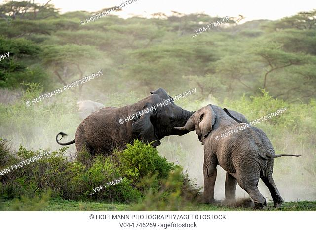 Two elephant bulls Loxodonta africana in musth fighting, Serengeti National Park, Tanzania, Africa