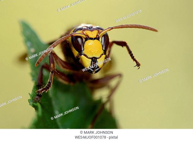 Portrait of European hornet