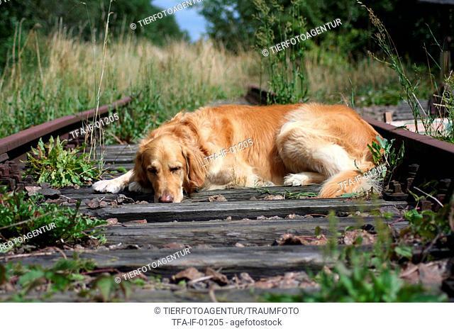 Golden Retriever on rails