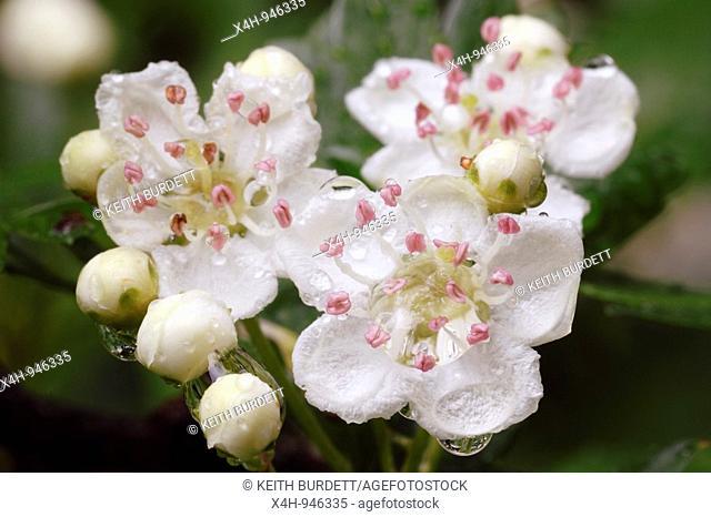 Hawthorn blossom, Crataegus monogyna, Wales