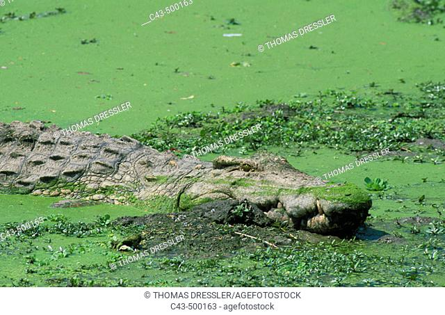 Nile Crocodile (Crocodylus niloticus); resting in a pond which is covered with duckweed. South Luangwa National Park, Zambia