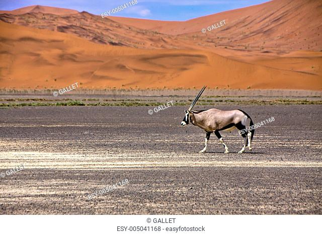an oryx in front of a large dune in the namib naukluft park near sossusvlei