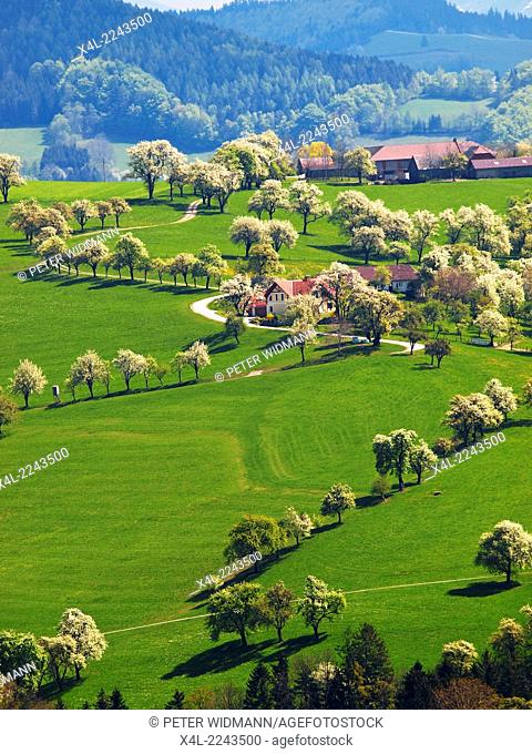pear tree in blossom, Mostviertel, Austria, Lower Austria