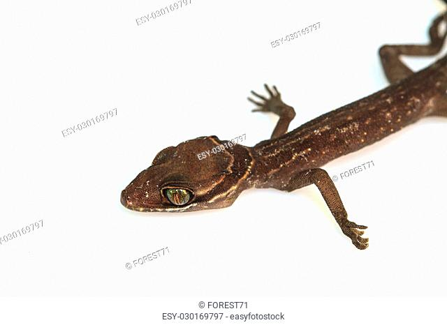 Gecko lizard from trpical forest isolated on white background, Cyrtodactylus oldhami