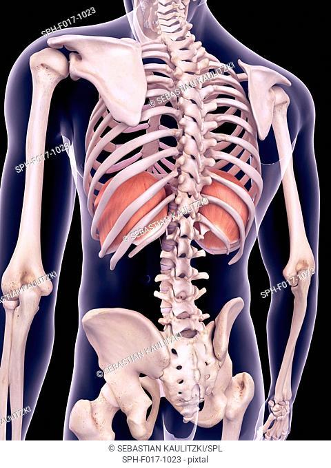 Illustration of the diaphragm