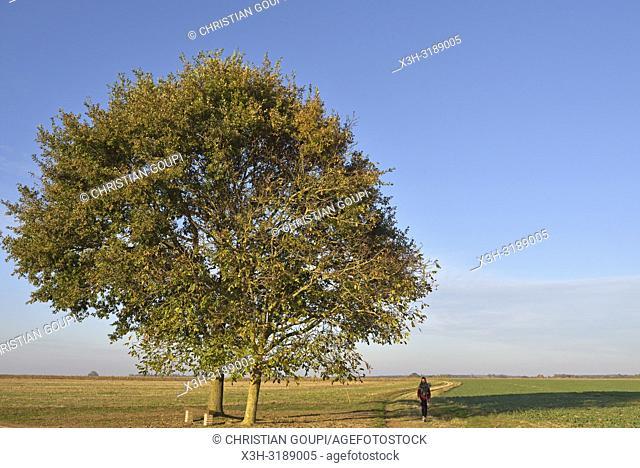 deux chenes isoles sur le bord d'une route de campagne, departement d'Eure-et-Loir, region Centre-Val de Loire, France, Europe/two oak trees on the edge of a...