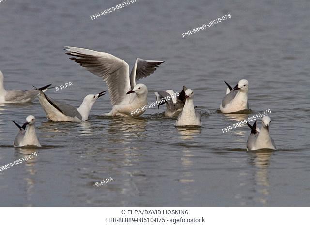 Slender billed gulls - Coto Donana, Spain