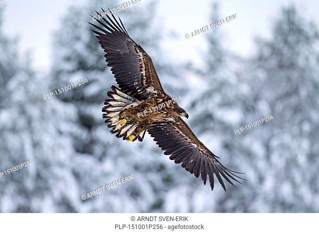 White-tailed Eagle / Sea Eagle / Erne (Haliaeetus albicilla) juvenile landing in the snow in winter