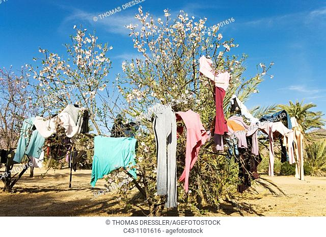 Morocco - The branches of an almond tree Prunus dulcis in blossom are used to put clothes on to dry  Before they have been washed at a well near the village of...