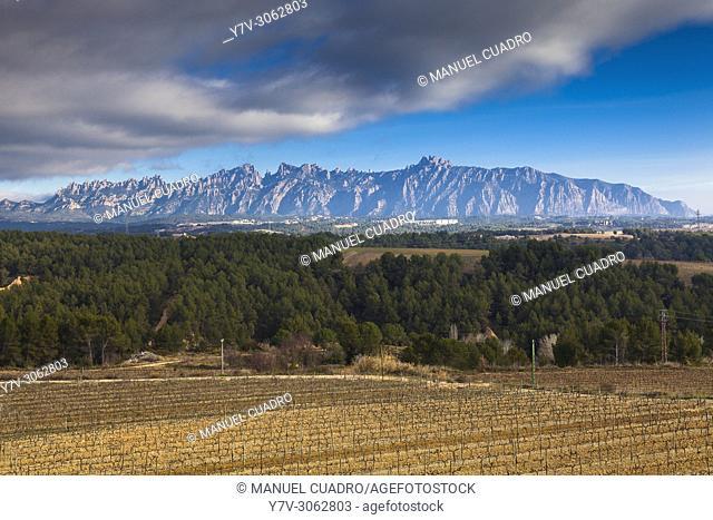 Winter landscape. Vineyards. Bodega Sumarroca, comarca del Penedés, provincia de Barcelona, Catalunya, Spain