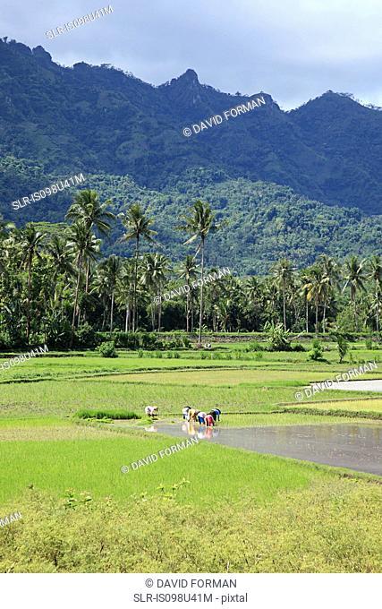 Workers in rice field near borobudur, java