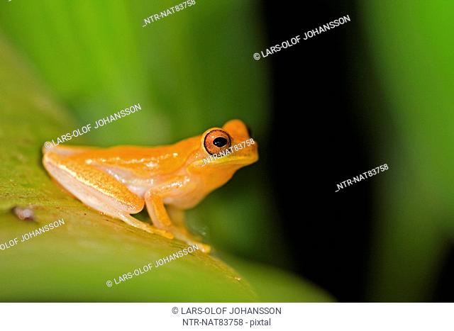Golden Toad on a leaf, Costa Rica