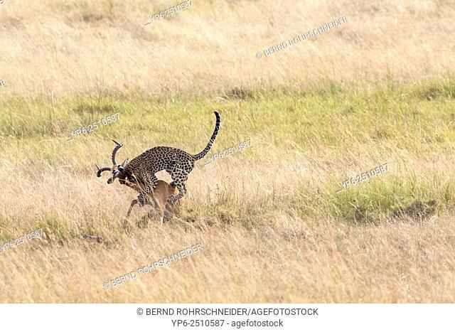 Leopard (Panthera pardus) hunting Impala (Aepyceros melampus), Masai Mara, Kenya