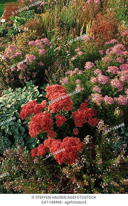Stonecrop (Sedum telephium 'Herbstfreude')