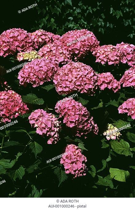 Hydrangea - pink - bush - impressive - ornemental