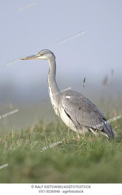 Gray Heron ( Ardea cinerea ), standing in a wet meadow, in typical surrounding, taken from low point of view